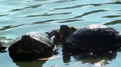Chelonia mydas - Green turtle Stock Footage
