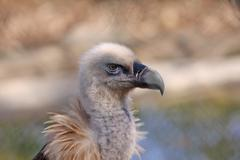 griffon vulture - stock photo