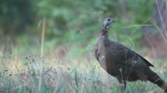 Turkey Hen Calling Stock Footage