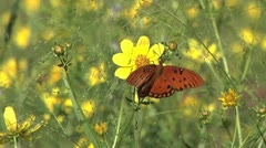 Butterfly, Gulf Fritillary Butterfly on to yellow wildflower on a windy day Stock Footage
