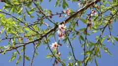 Almond flowers 02 - stock footage