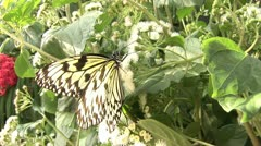 Butterfly_7 Stock Footage