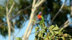 Rainbow Lorikeet in olive tree Stock Footage