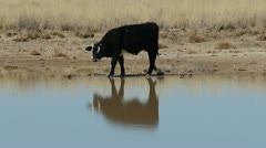 Cow Sniffs Drinks Water Stock Footage