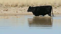 Cow Wades Through Lake Stock Footage