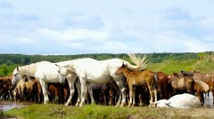 Herd of horses shaking head at the watering place, sunny summer day. Stock Footage