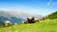 Beautiful spanish cows on a pasture in highlands. Asturias, Spain. - stock footage
