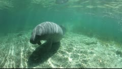 Manatee in crystal river - stock footage