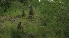 Savannah Baboons sitting in Niassa Reserve, Mozambique. Stock Footage