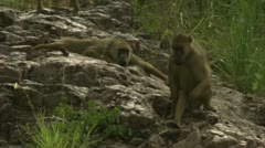 Adult Savannah Baboons on rocks in Niassa Reserve, Mozambique. Stock Footage