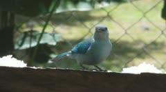Blue Grey Tanager Stock Footage