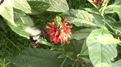 Butterfly_6 - stock footage