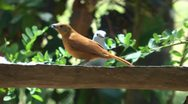 Stock Video Footage of Clay Colored Robin