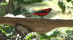 Crimson Backed Tanager Bird At A Bird Feeder Stock Footage