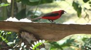 Stock Video Footage of Crimson Backed Tanager