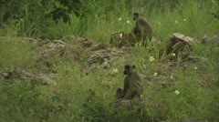 Adult Savannah Baboons sitting in Niassa Reserve, Mozambique. Stock Footage