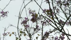 381 Thin branches with purple flowers Stock Footage