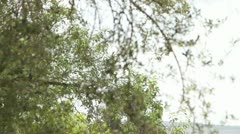 384 olive tree leaves blowing in the wind Stock Footage