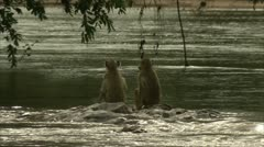Young Savannah Baboons on rocks on water in Niassa Reserve, Mozambique. Stock Footage