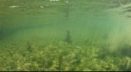 Manatee in crystal river Stock Footage