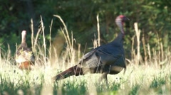 Turkey Gobbler Fight Stock Footage