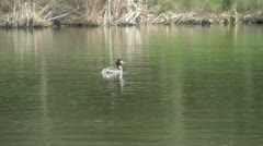 Great Crested Grebes Stock Footage
