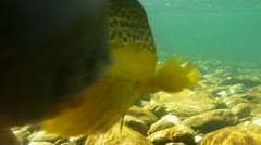 Releasing a brown trout Stock Footage
