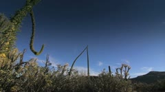 Cactus cirios in Baja California Desert Stock Footage