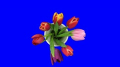 Time-lapse of opening mixed color tulips bouquet blue chroma key 4a Stock Footage