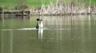 Stock Video Footage of Great Crested Grebe Courtship Ritual