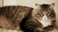 Cute Norwegian Cat In Sepia Tones Stock Footage