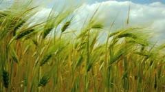 Corn field barley in summer Stock Footage