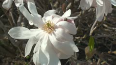 Close up of Magnolia Stellata Stock Footage