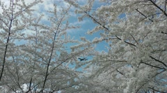 Jet passes, Cherry Blossoms below Stock Footage