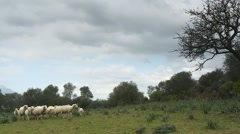 Flock of sheep and lambs in natural landscape Stock Footage