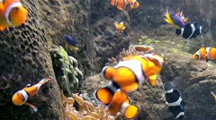 Aquarium (cloun fish) Stock Footage