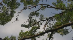 Couple pigeons on tree branch leaf tree nature sky blue love valentine romantic Stock Footage