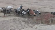 Stock Video Footage of Many pigeons playing
