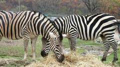 Zebra Stock Footage