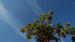 Roses bush stems on background blue sky Stock Footage