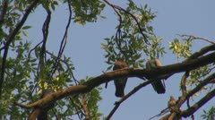 Couple of pigeons on tree branch Stock Footage