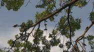 Stock Video Footage of Couple of pigeons on tree branch