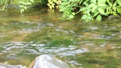salmon in the mountain river moves. Salmon-run and sandpiper Stock Footage
