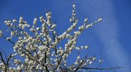 Stock Video Footage of Pear-tree blossoming