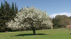 Blooming almond tree in a green meadow Stock Footage