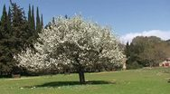 Stock Video Footage of Blooming almond tree in a green meadow