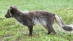 Fluffy Arctic Fox in the tundra Stock Footage
