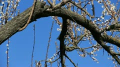 Black starling on the blooming apricot tree Stock Footage