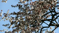 Cherry-plum blossoming sprig Stock Footage
