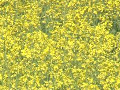 Closeup flower oilseed Stock Footage